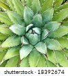 Agave -- Agave arizonica -- plant (sometimes used to  make tequila) in Arizona's desert - stock photo