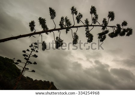 Agave blossom against dramatic cloudy sky on an autumn day in Portugal - stock photo
