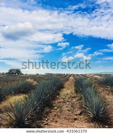 Agave field for Tequila production, Jalisco, Mexico. Harvesting the agave in the field. Mexican agave in process of crop harvesting.