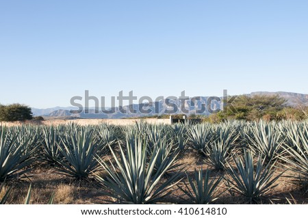 Agave fields,Mexico