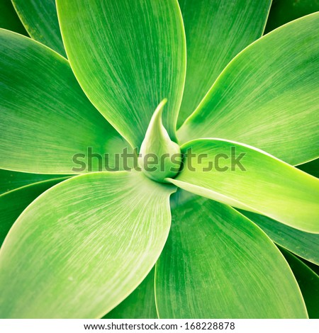 Agave green leaves close-up natural background - stock photo