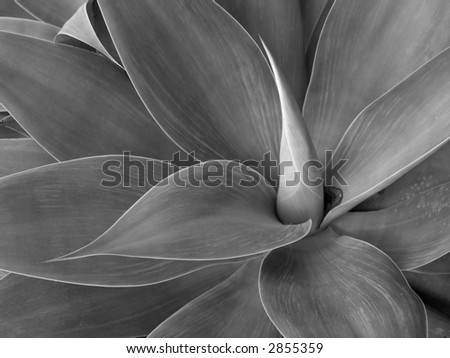 Agave in Black and White - stock photo