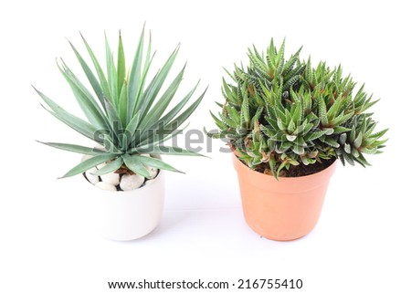 Agave in pot on white background - stock photo