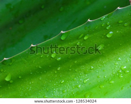 Agave leaf after summer rain in close up - stock photo