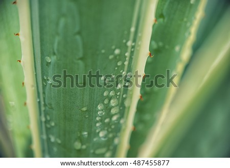 Agave leaf pattern in natural light with water drops