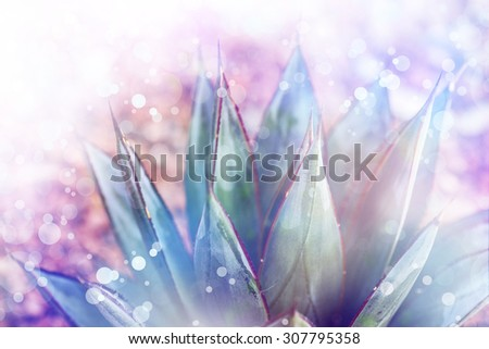 Agave montana, The pointy end of things - stock photo