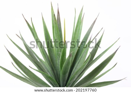 Agave on white background - stock photo