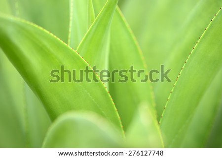 Agave plant close up