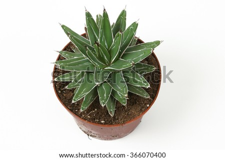 Agave plant in a pot isolated on white background. Queen Victoria Reginae. - stock photo