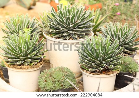 agave plant in the garden - stock photo