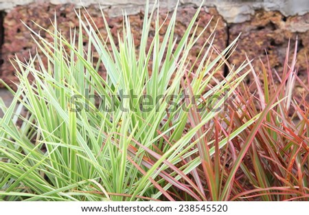 agave plant leaves - stock photo