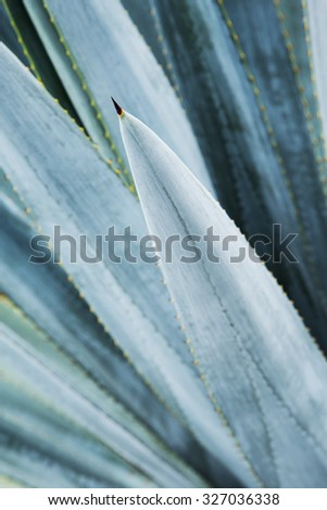 Agave tequila landscape detail. Mexico. - stock photo