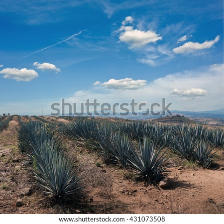 Agave tequila landscape to Guadalajara, Jalisco, Mexico. Agave field. Mexican ranch.