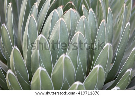 Agave victoriae reginae leaves texture background - stock photo