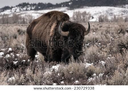 Aged bison facing photographer, Teton National Park - stock photo