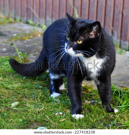 Aggressive black cat, black and white cat in warning position, outdoor  - stock photo