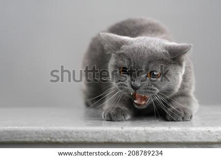 aggressive British gray cat on a stool - stock photo