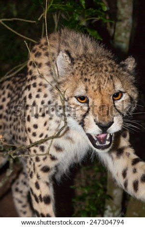 aggressive cheetah hunting at night in the bush, Kruger National Park, South Africa  - stock photo