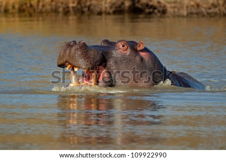 Aggressive Hippopotamus (Hippopotamus amphibius) with open mount in water, South Africa - stock photo