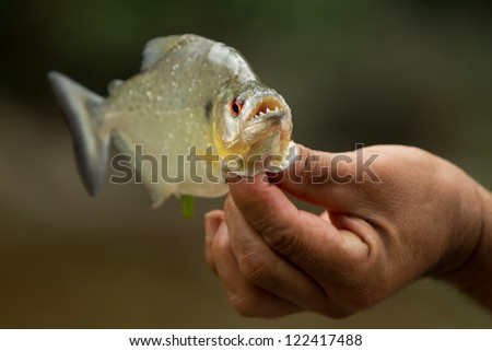 AGGRESSIVE PIRANHA FISH WITH HIS MOUTH OPEN  - stock photo