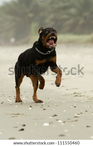 aggressive Rottweiler dog (the dog was running , in fact this breed is not aggressive at all) - stock photo