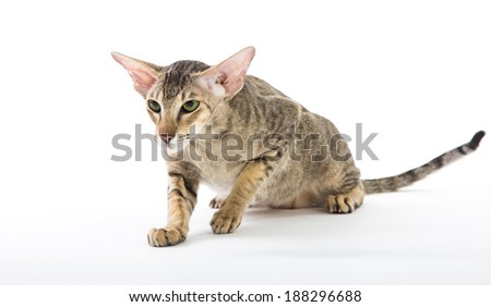 aggressive siamese cat. isolated on white background