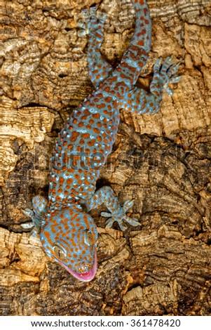 Aggressive Tokay gecko (Gecko gecko) - stock photo