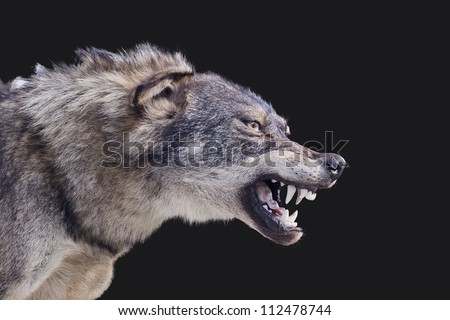 Aggressive wolf stuffed - stock photo
