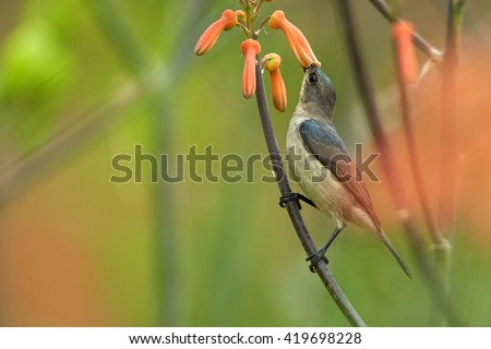 Agile, african nectar-eating bird,  Mouse-colored Sunbird, Cyanomitra veroxii, male feeding on nectar, perched on stem among blurred red aloe flowers. KwaZulu Natal, South Africa. - stock photo