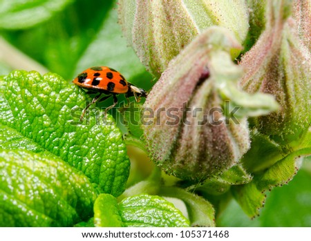 agile asian ladybird (profile) - stock photo