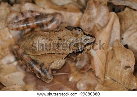 Agile frog (Rana dalmatina). Dorsal view - stock photo