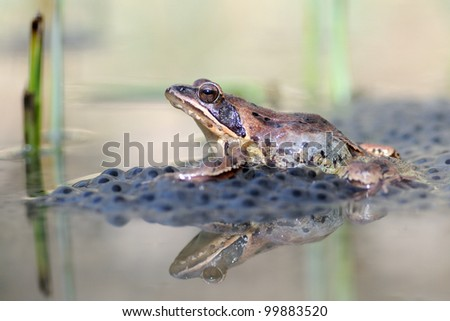 Agile frog (Rana dalmatina) on eggs. reflections - stock photo