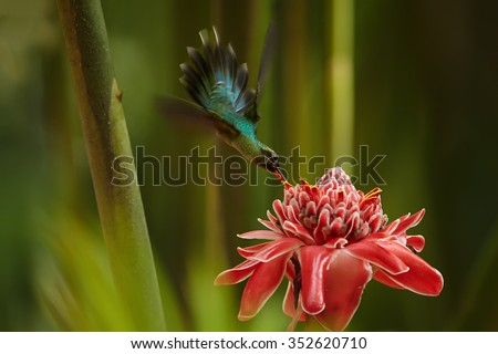 Agile longtail wild green hummingbird Green Hermit Phaethornis guy feeding from Red Torch Ginger Flower in acrobatic position. Dark green blurry plants in background. Wild bird in forest. Nice bokeh. - stock photo