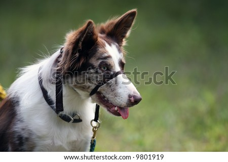 Agility Dig with Muzzle - stock photo