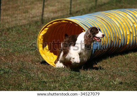 Agility Dog Exiting a Tunnel in Competition - stock photo