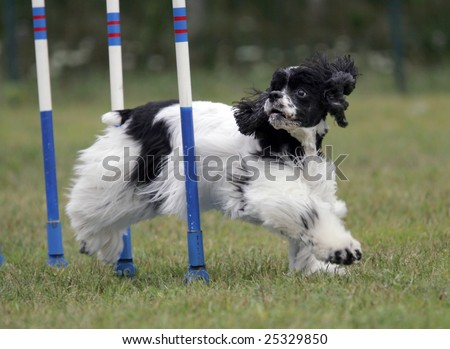 Agility Dog exiting a Weave - stock photo