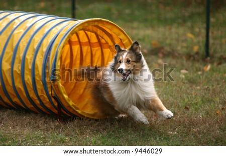 Agility Dog Exiting Tunnel - stock photo
