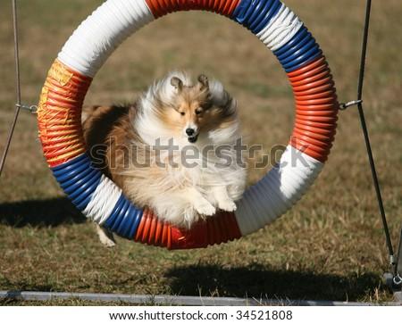 Agility Dog Jumping Through Hoop - stock photo