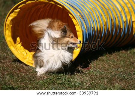 Agility dog Jumping Through Hoop in Competition - stock photo