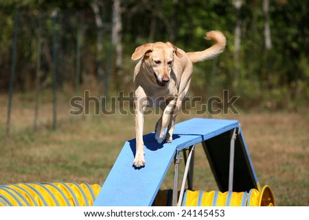 Agility Dog on a walk way - stock photo