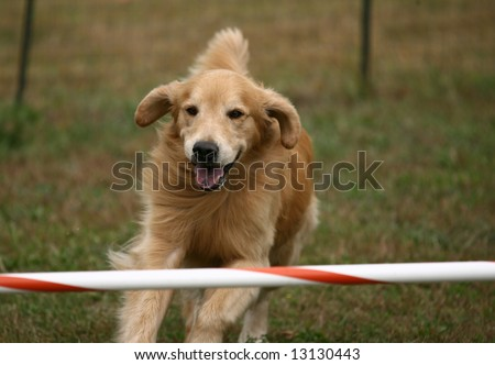 Agility Dog Running to Next Jump - stock photo