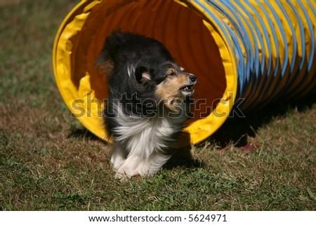 Agility Dog -- Tunnel - stock photo