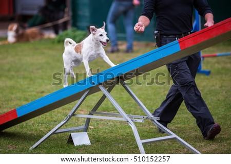 agility training with a Parson Russell Terrier