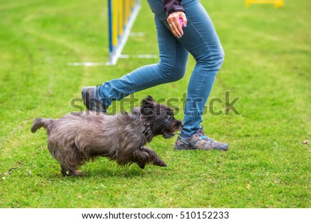 agility training with an old Cairn Terrier