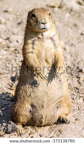 Agitated gopher standing on sand