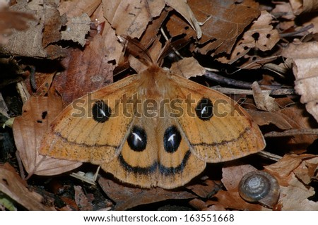 Aglia tau, Tau Emperor, moth, Germany - stock photo
