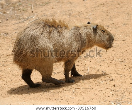 Agouti, a large rodent from South America. - stock photo