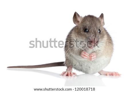 Agouti rat sits on a white background - stock photo