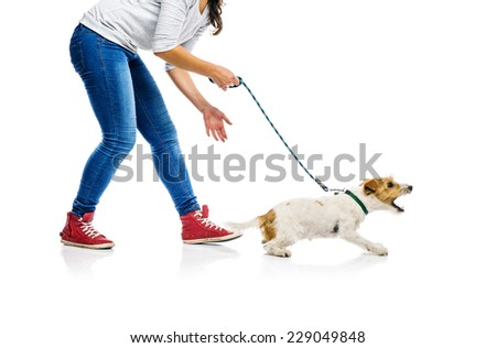 Agressive parson russell terrier dog barking on lead on walk with his owner, isolated on white background - stock photo