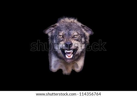 agressive wolf stuffed - stock photo